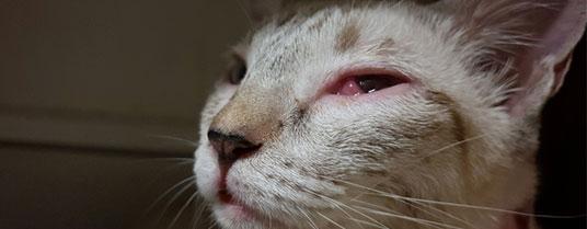chlamydiose chez le chat