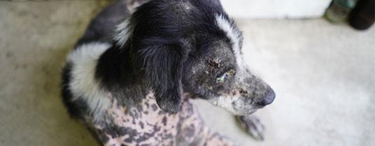 dermatomycose chez le chien