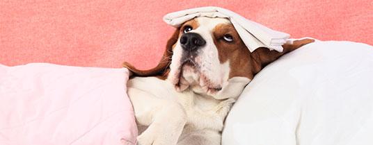 encephalite chez le chien