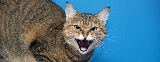 encephalopathie ischémique chat