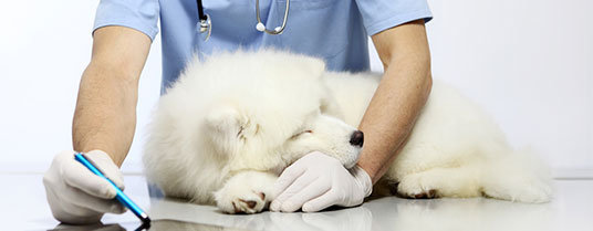 myosite du chien